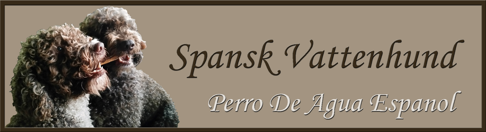 Spansk vattenhund. Perro De Agua Espanol
